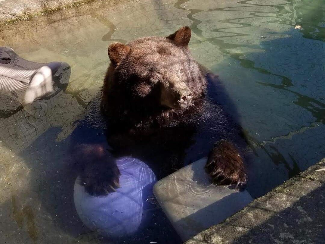 Bear playing in water with ball