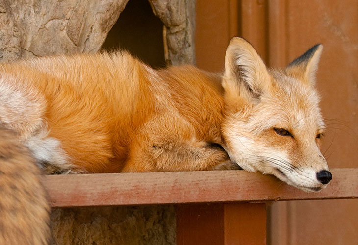 Canine-Red-Fox